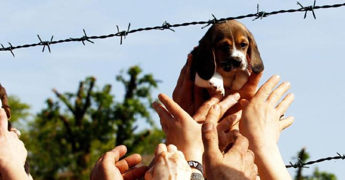 addio-vita-la-beagle-della-foto-simbolo-di-green-hill