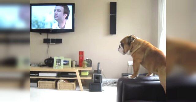bulldog-pensa-di-essere-un-elefante-dopo-aver-visto-uno-in-tv