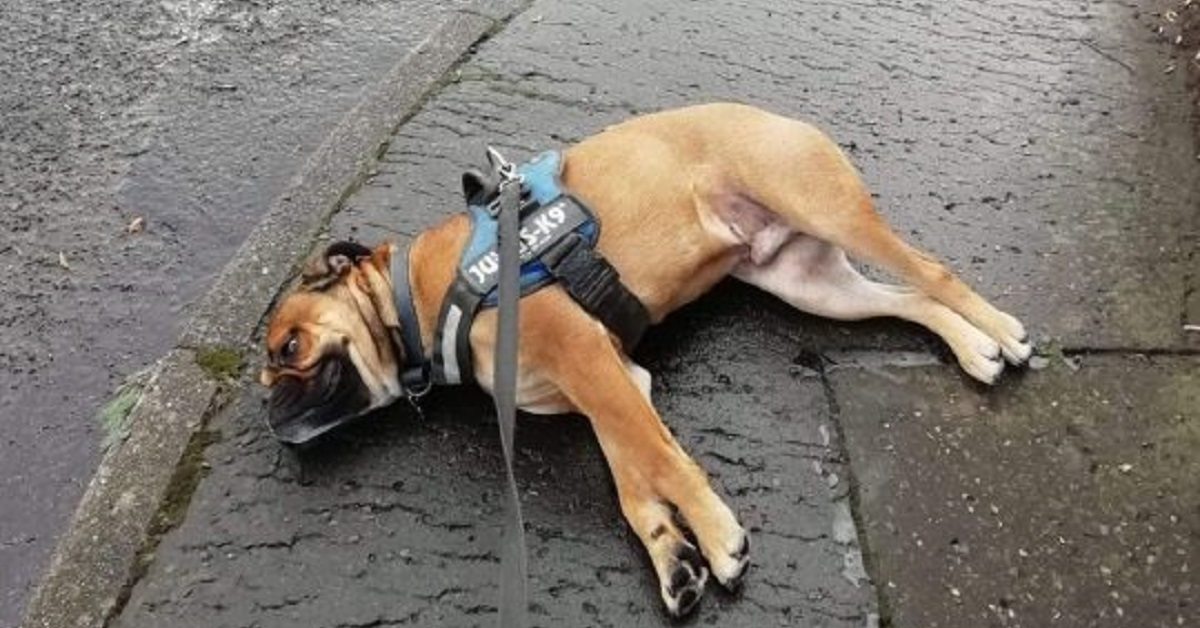 Cane si finge svenuto per protesta durante una passeggiata