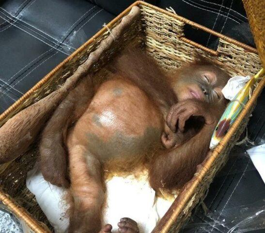 trovato-un-ragazzo-con-un-orangotango-nella-borsa 1