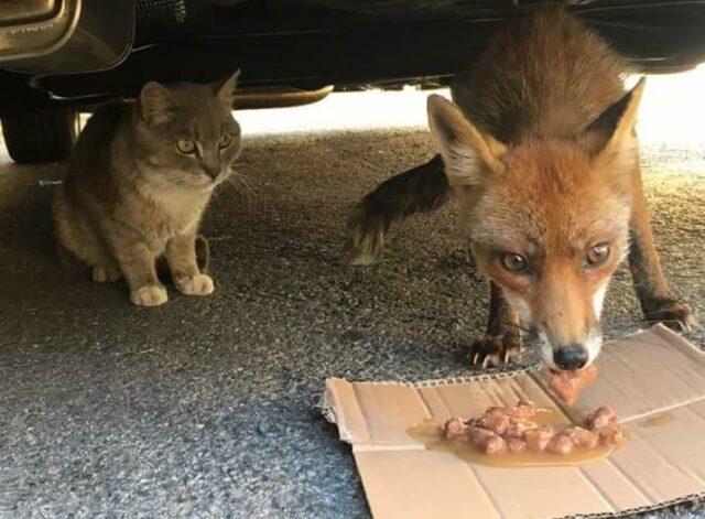 gatto-volpe