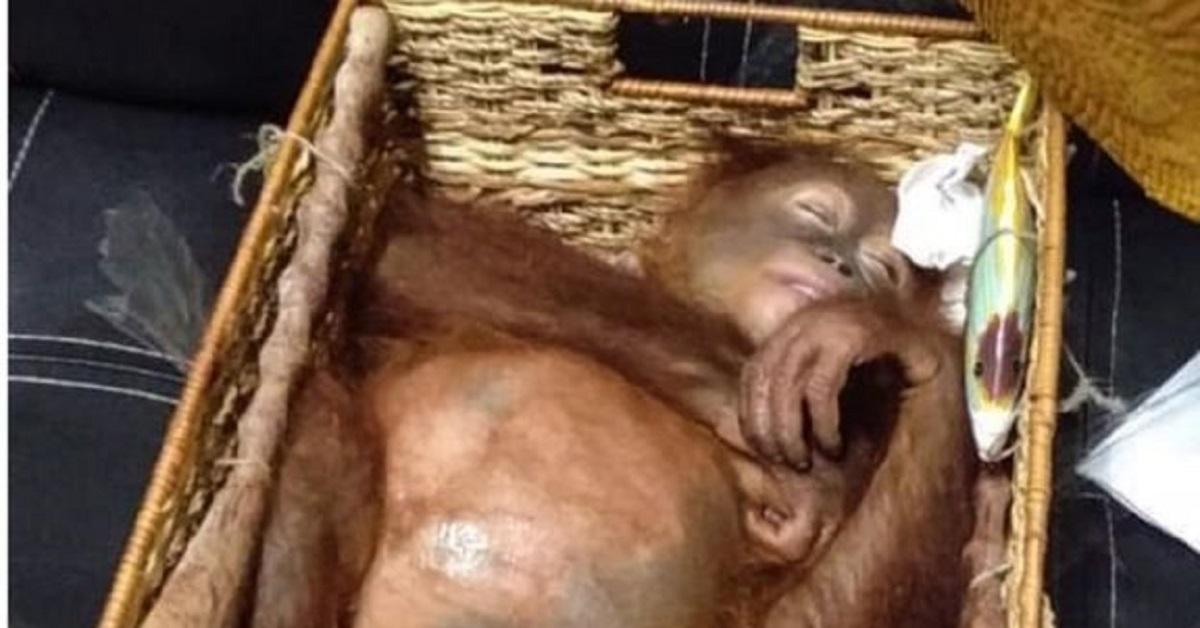 orango-venduto-di-contrabbando-sequestrato-allaeroporto-di-bali