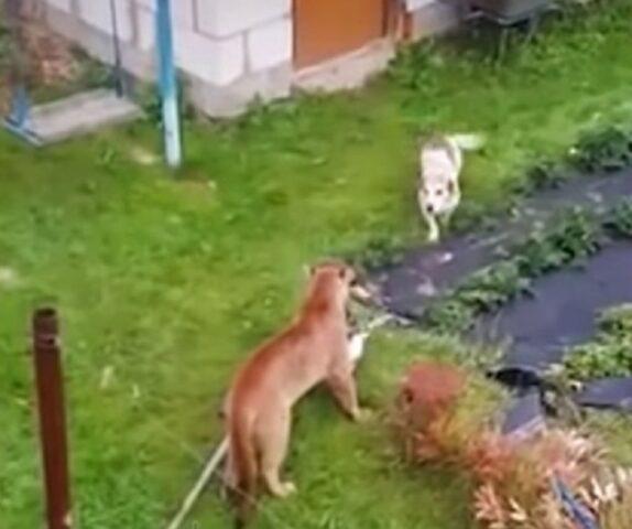 il-puma-che-attacca-i-due-cani 1