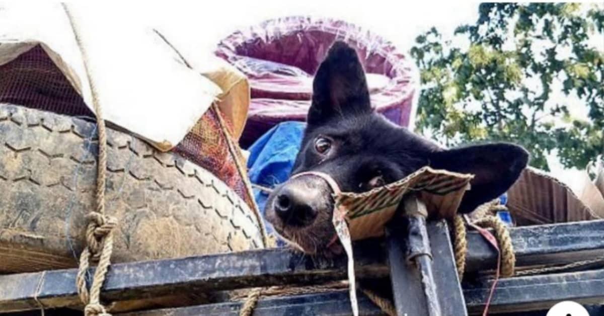 la-verità--di-quello-che-viene-fatto-ai-cani-in-India
