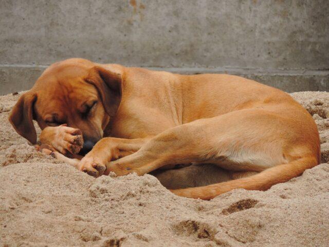 Cane-che-dorme-rannicchiato