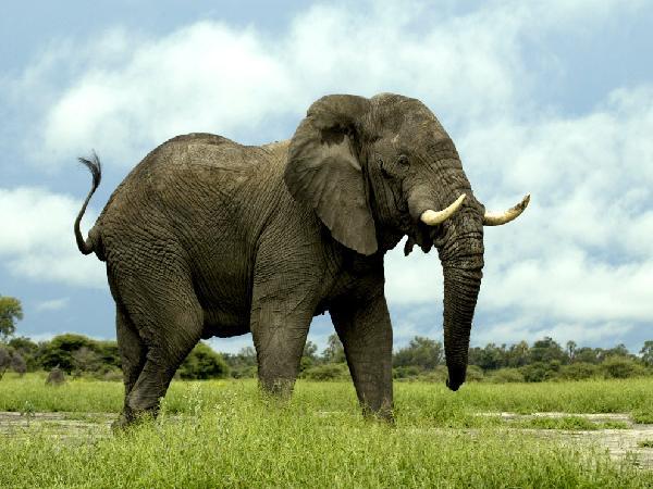 Il-caffe-che-si-ricava-dagli-elefanti