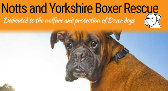 Nottinghamshirm-and-Yorkshire-Boxer-Rescue