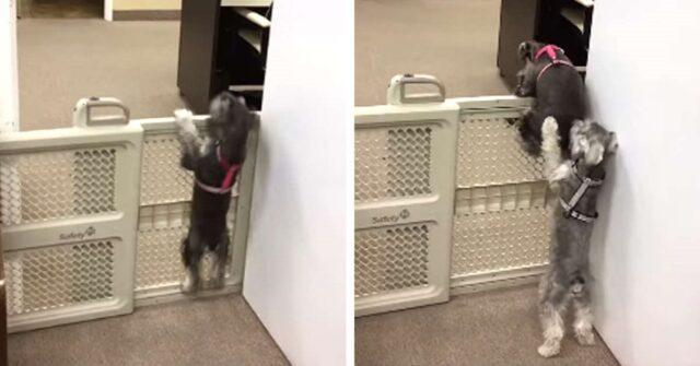 cane-vede-la-sorella-che-cerca-di-infrangere-le-regole-e-decide-di-aiutarla
