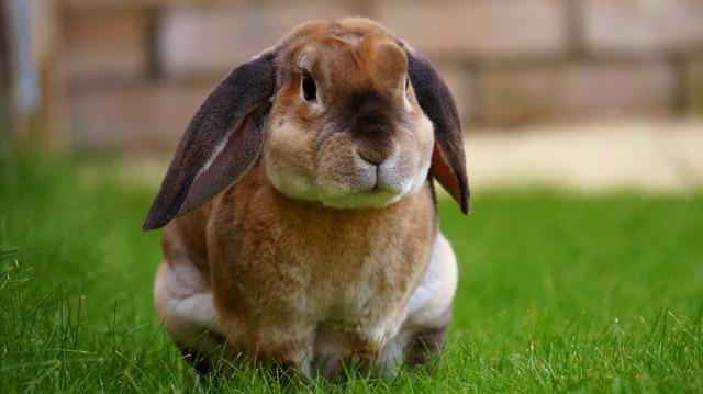 coniglio-nano