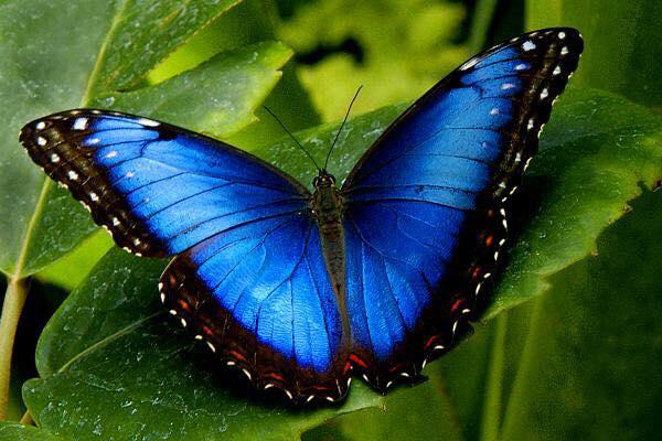 farfalla-blu