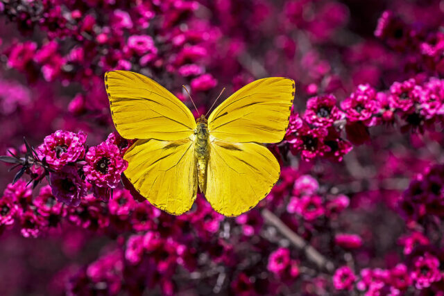 farfalla-gialla