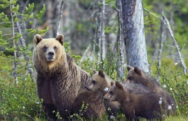 orsa-peppina-cuccioli