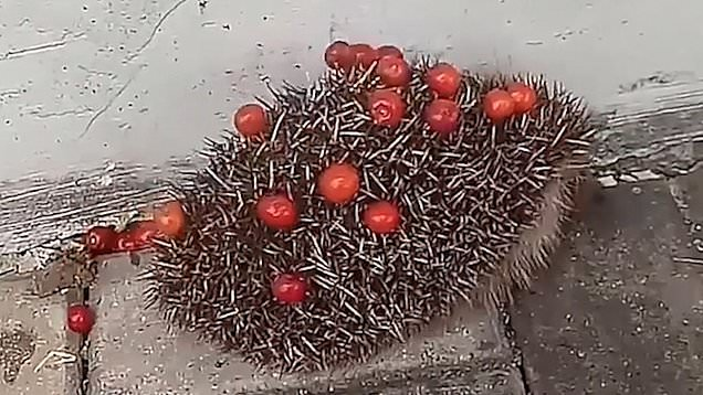 riccio-ciliege
