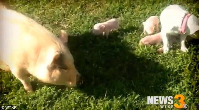 Dotty-Jayne-ha-salvato-la-vita-a-dei-cuccioli-di-maiale 1