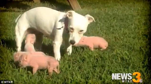 Dotty-Jayne-ha-salvato-la-vita-a-dei-cuccioli-di-maiale