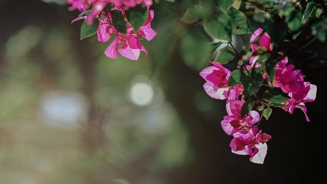Bougainvillea-fiore