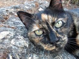 gatto-tartarugato