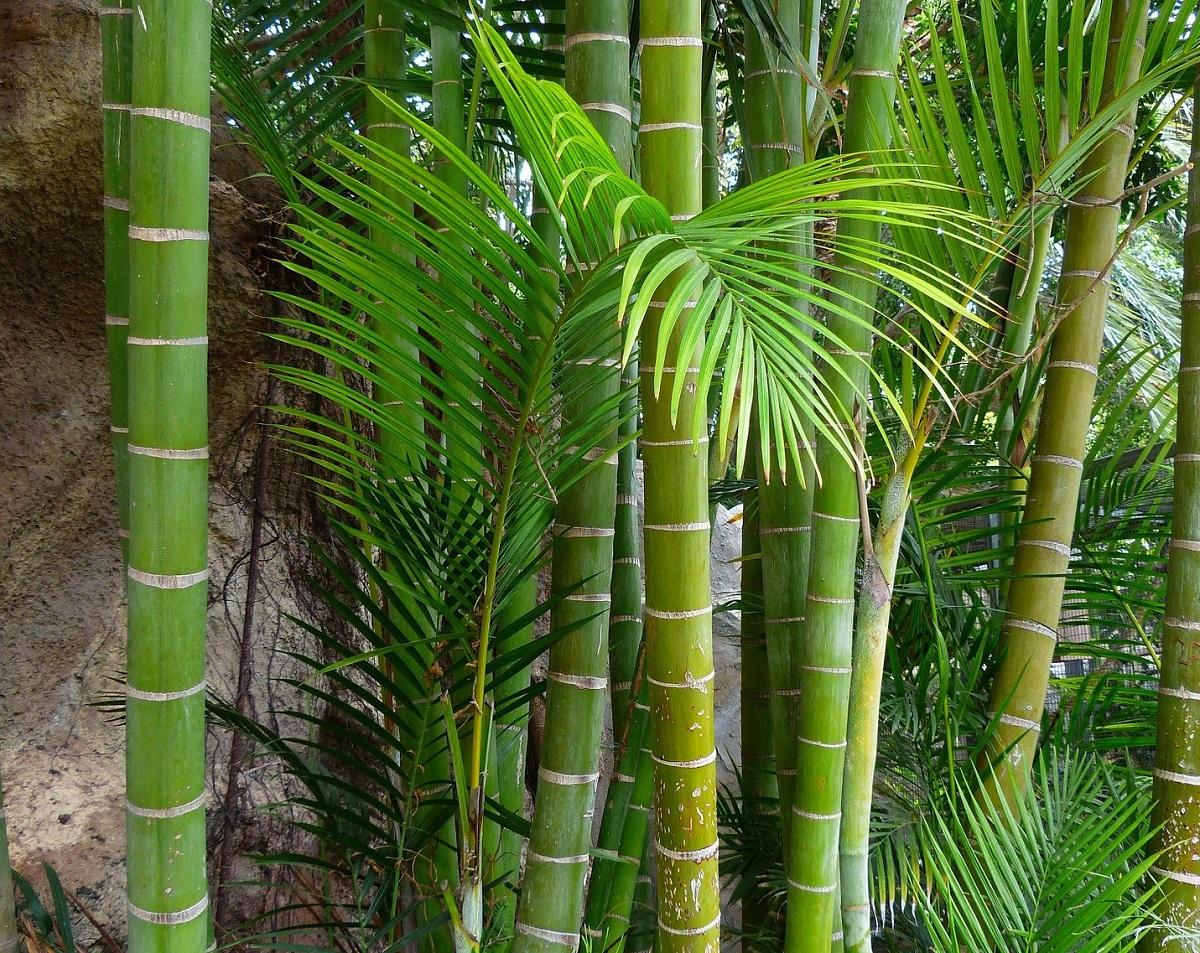 Palma di bambu