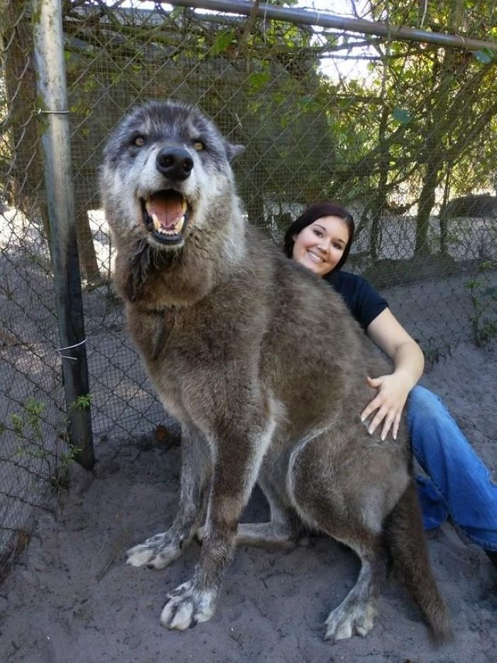 cane lupo