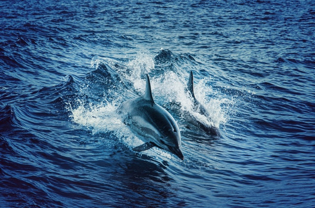 delfino-tatuaggio