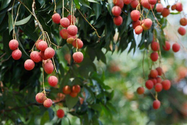 litchi-frutto