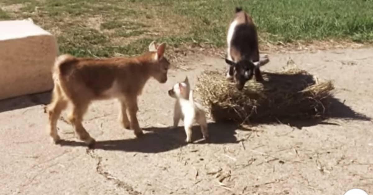 Le-caprette-hanno-aiutato-Lola-ad-aprirsi-con-la-sua-nuova-famiglia
