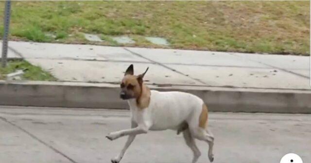 Il-salvataggio-di-Echo-il-cane-che-era-stato-investito