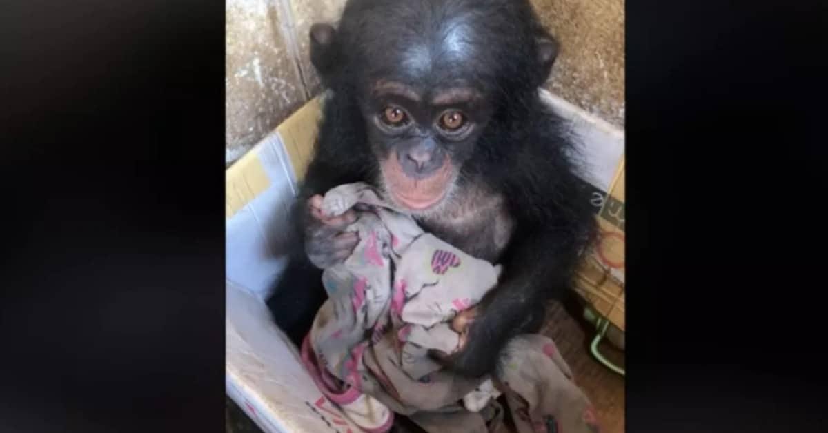 Il salvataggio di un piccolo scimpanzé chiamato Chance