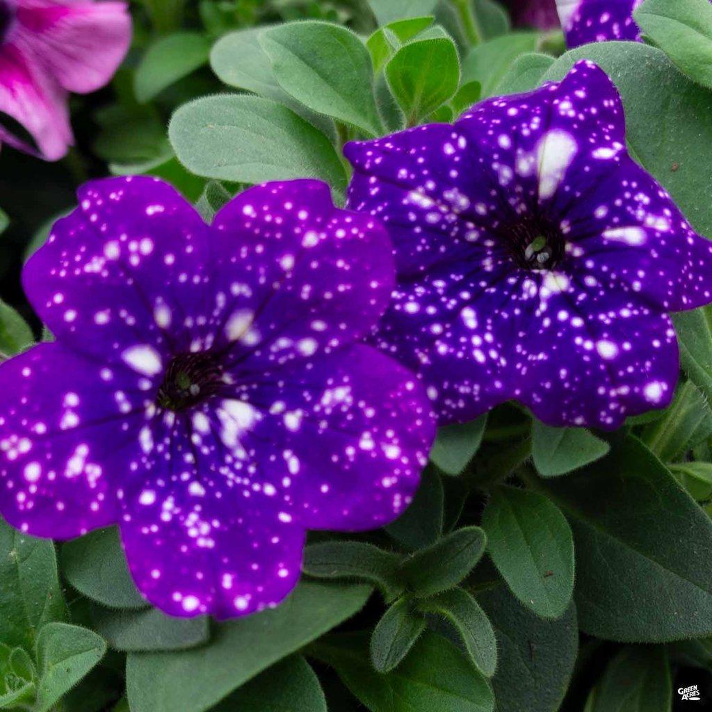 Petunie Night Sky, cura dei fiori che sembrano un cielo stellato