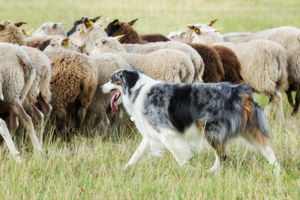 cane-pecore
