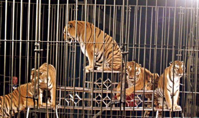 circo-tigri-2