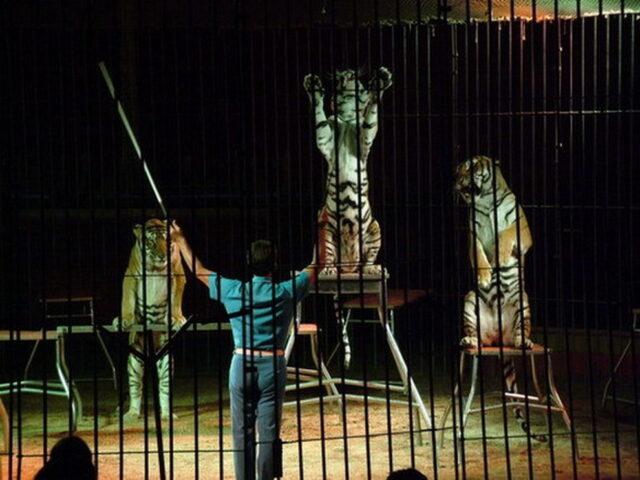 ettore-weber-tigri