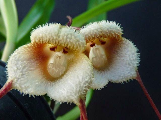 fiore-scimmia