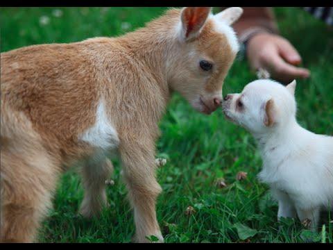 l'amicizia-tra-Lola-e-le-caprette 3