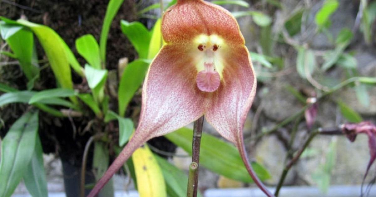 Le orchidee rare che sembrano delle scimmie