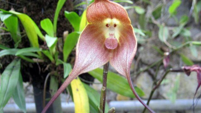 orchidea-faccia-scimmia-Cuenca
