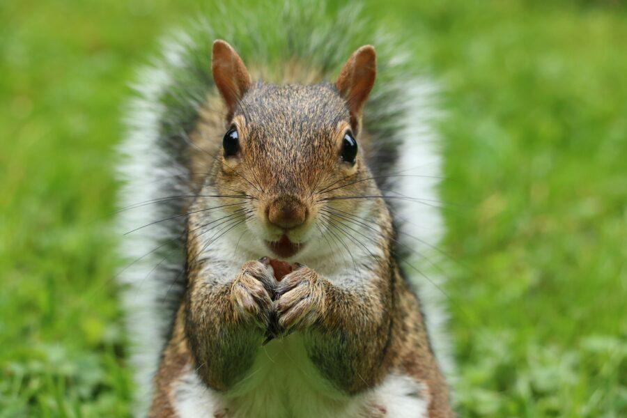 scoiattolo grigio nordamericano