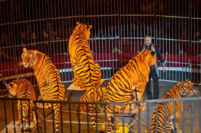tigri-circo-moira-orfei