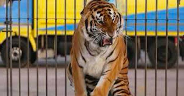 tigri-circo-monti-