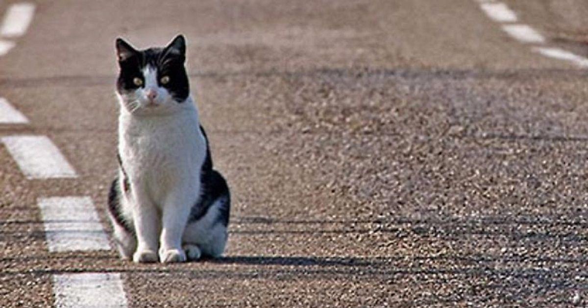 gatto-romeo
