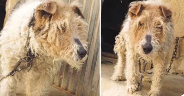 incatenata-per-tanti-anni-senza-un-nome-il-salvataggio-della-cagnolina-ed-il-suo-cammino-per-la-guarigione