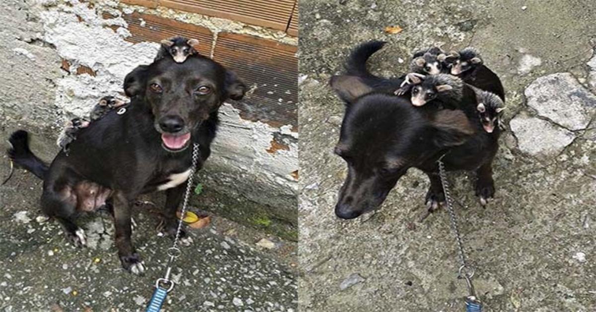 Cane adotta i cuccioli di moffetta rimasti orfani