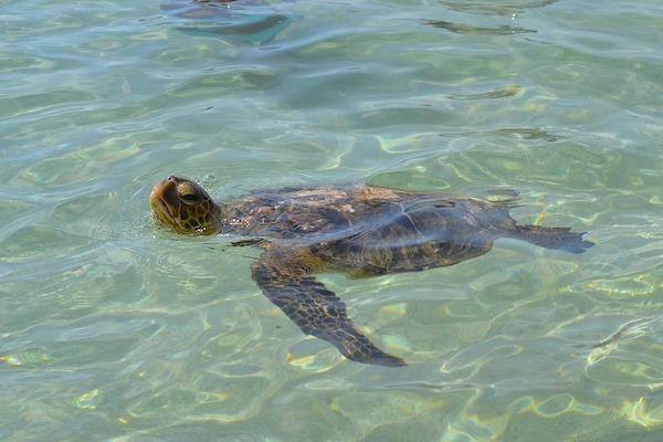 Altre curiosità sulle tartarughe marine