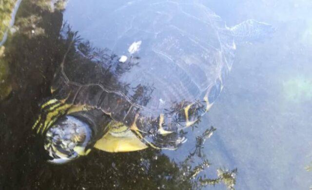 tartaruga-salvata