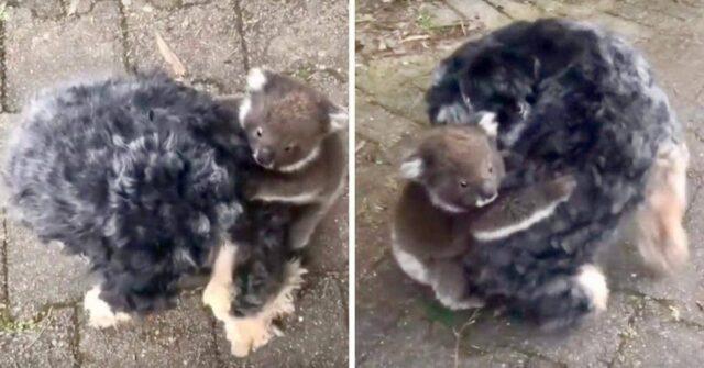 L'insolita-esperienza-di-Tony-con-il-cucciolo-di-koala-che-aveva-smarrito-sua-madre