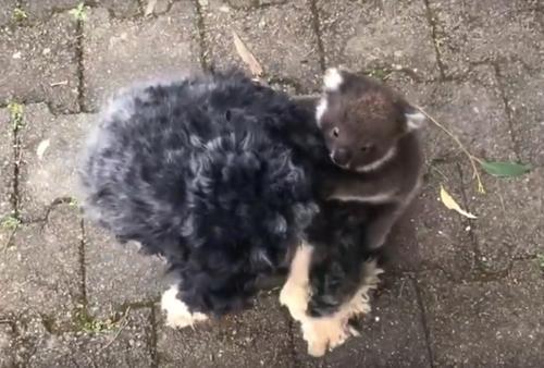 L'insolita-esperienza-di-Tony-con-il-cucciolo-di-koala 2