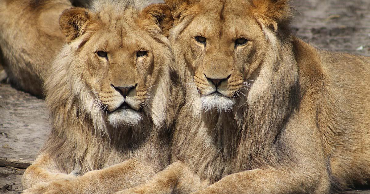 Leoni, ghepardi e rinoceronti come animali da allevamento