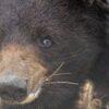 orso-bruno