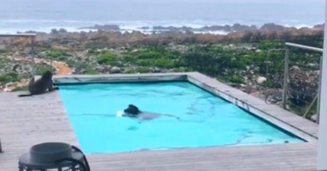 Uomo-scopre-i-due-babbuini-nella-sua-piscina-la-scena-e-esilarante