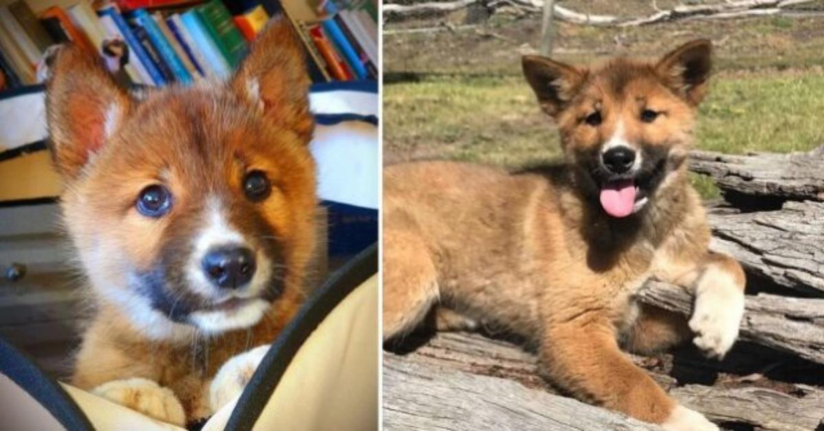 Donna australiana trova uno strano animale nel suo giardino. Poi scopre che si trattava di un Dingo.